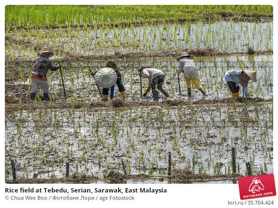 Rice field at Tebedu, Serian, Sarawak, East Malaysia. Редакционное фото, фотограф Chua Wee Boo / age Fotostock / Фотобанк Лори
