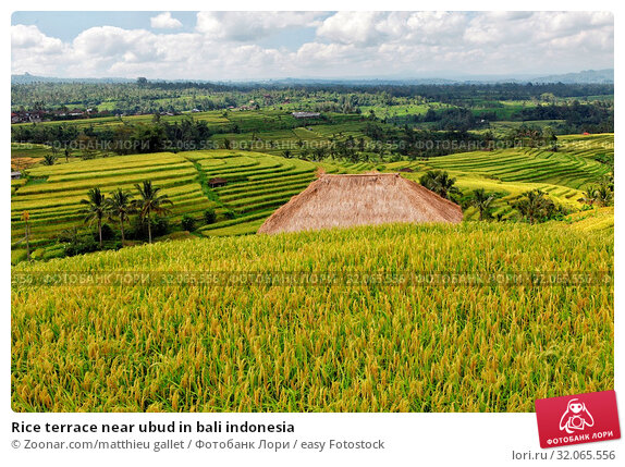 Rice terrace near ubud in bali indonesia. Стоковое фото, фотограф Zoonar.com/matthieu gallet / easy Fotostock / Фотобанк Лори