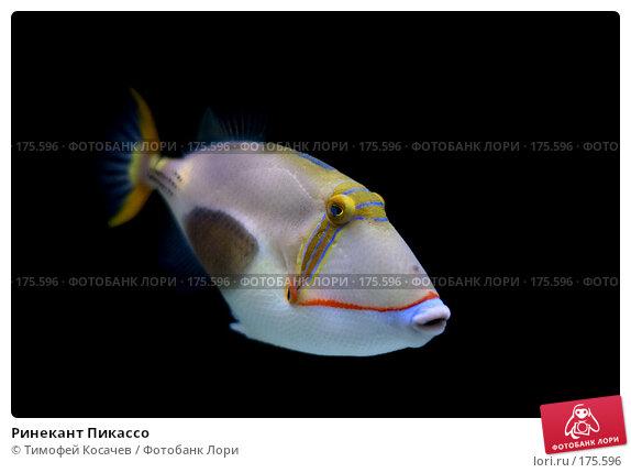 Купить «Ринекант Пикассо», фото № 175596, снято 3 января 2008 г. (c) Тимофей Косачев / Фотобанк Лори