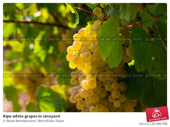 Купить «Ripe white grapes in vineyard», фото № 29289788, снято 29 февраля 2020 г. (c) Яков Филимонов / Фотобанк Лори