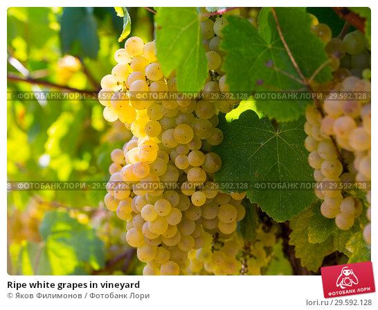Купить «Ripe white grapes in vineyard», фото № 29592128, снято 23 апреля 2019 г. (c) Яков Филимонов / Фотобанк Лори