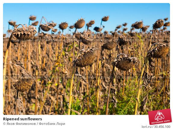 Ripened sunflowers. Стоковое фото, фотограф Яков Филимонов / Фотобанк Лори