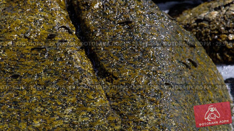 Купить «Rockskipper fish on the rock at the beach», видеоролик № 29918788, снято 19 ноября 2018 г. (c) Игорь Жоров / Фотобанк Лори