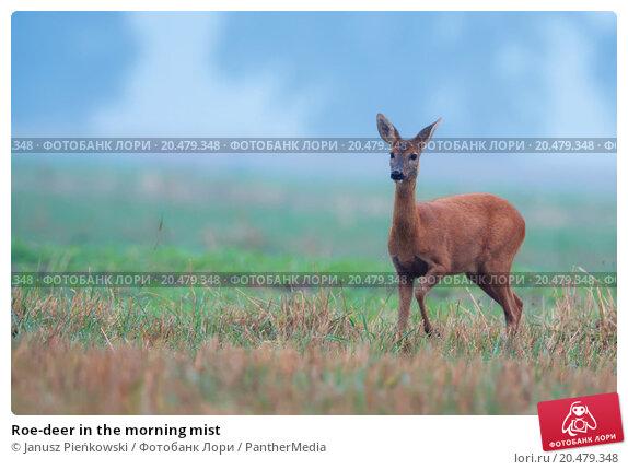 Купить «Roe-deer in the morning mist », фото № 20479348, снято 20 февраля 2019 г. (c) PantherMedia / Фотобанк Лори