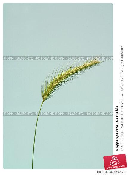 Roggengerste, Getreide. Стоковое фото, фотограф Zoonar.com/Manfred Ruckszio / age Fotostock / Фотобанк Лори