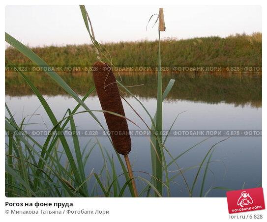 Рогоз на фоне пруда, фото № 6828, снято 6 августа 2006 г. (c) Минакова Татьяна / Фотобанк Лори