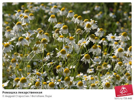 Ромашка лекарственная, фото № 59448, снято 8 июля 2007 г. (c) Андрей Старостин / Фотобанк Лори