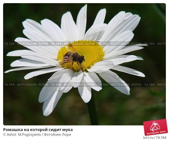 Ромашка на которой сидит муха, фото № 74184, снято 8 июля 2007 г. (c) Ashot  M.Pogosyants / Фотобанк Лори