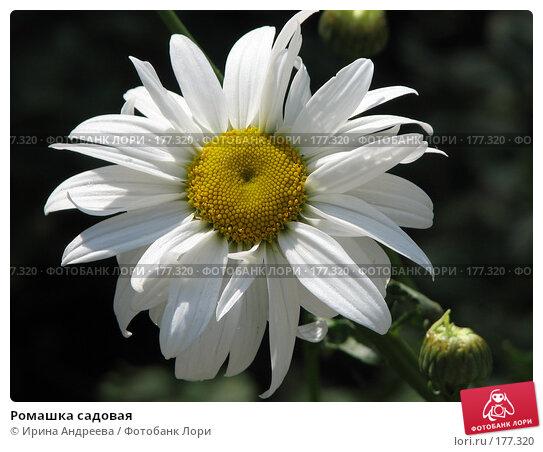 Ромашка садовая, фото № 177320, снято 4 июля 2007 г. (c) Ирина Андреева / Фотобанк Лори