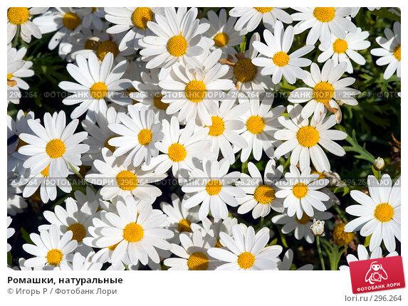 Купить «Ромашки, натуральные», фото № 296264, снято 23 мая 2008 г. (c) Игорь Р / Фотобанк Лори