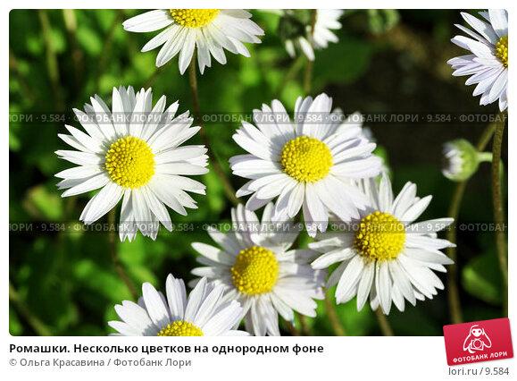 Ромашки. Несколько цветков на однородном фоне , фото № 9584, снято 18 июня 2006 г. (c) Ольга Красавина / Фотобанк Лори