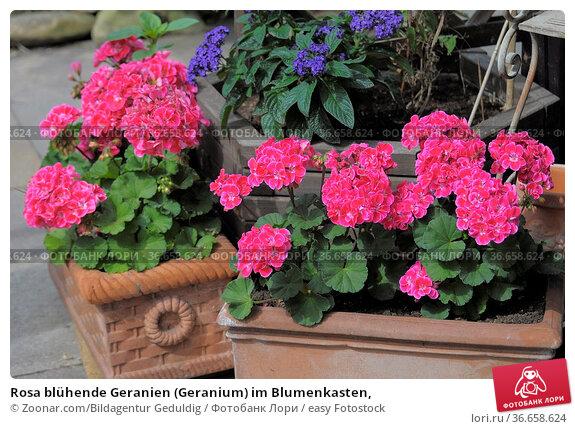 Rosa blühende Geranien (Geranium) im Blumenkasten, Стоковое фото, фотограф Zoonar.com/Bildagentur Geduldig / easy Fotostock / Фотобанк Лори