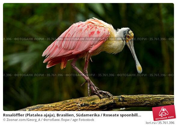 Rosalöffler (Platalea ajaja), Brasilien, Südamerika / Roseate spoonbill... Стоковое фото, фотограф Zoonar.com/Georg_A / age Fotostock / Фотобанк Лори