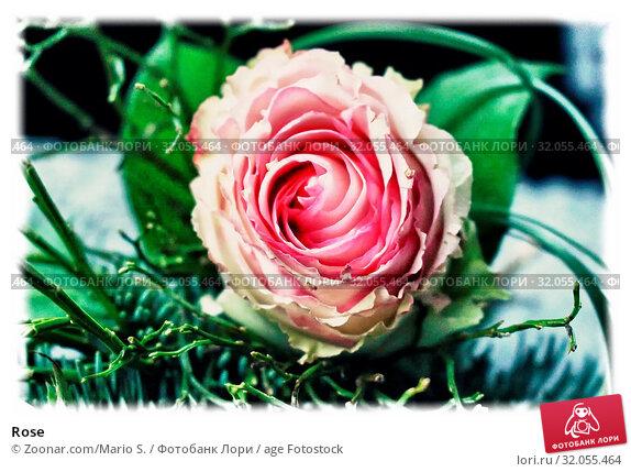 Rose. Стоковое фото, фотограф Zoonar.com/Mario S. / age Fotostock / Фотобанк Лори