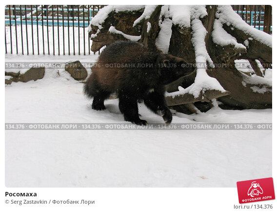 Росомаха, фото № 134376, снято 7 ноября 2004 г. (c) Serg Zastavkin / Фотобанк Лори