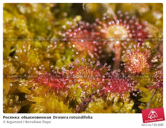 Росянка  обыкновенная  Drosera rotundifolia, фото № 92840, снято 11 августа 2007 г. (c) Argument / Фотобанк Лори