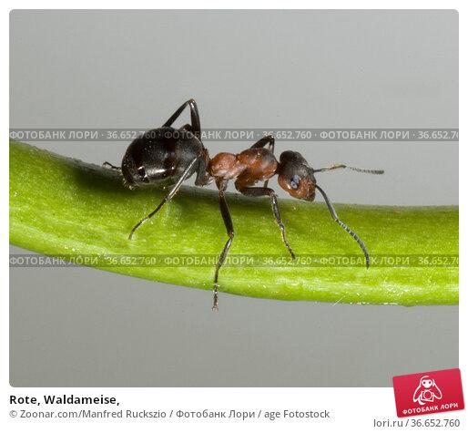 Rote, Waldameise, Стоковое фото, фотограф Zoonar.com/Manfred Ruckszio / age Fotostock / Фотобанк Лори