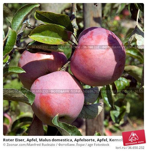 Roter Eiser, Apfel, Malus domestica, Apfelsorte, Apfel, Kernobst, Obst. Стоковое фото, фотограф Zoonar.com/Manfred Ruckszio / age Fotostock / Фотобанк Лори