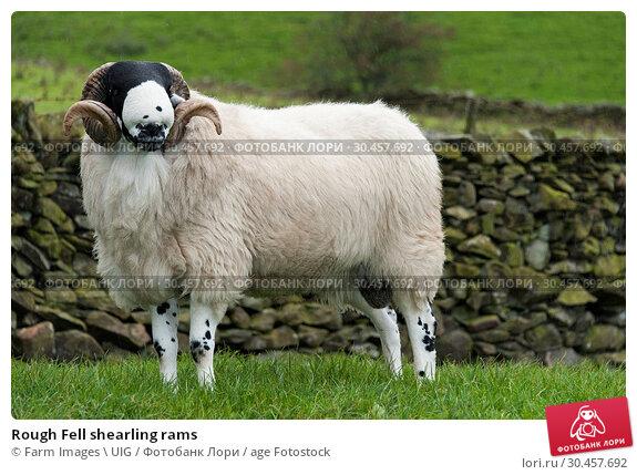Rough Fell shearling rams. Стоковое фото, фотограф Farm Images \ UIG / age Fotostock / Фотобанк Лори