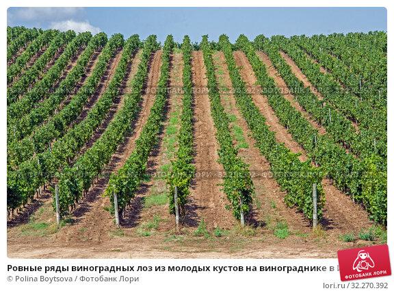Купить «Ровные ряды виноградных лоз из молодых кустов на винограднике в Италии летом», фото № 32270392, снято 2 сентября 2019 г. (c) Polina Boytsova / Фотобанк Лори