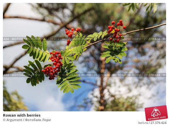 Купить «Rowan with berries», фото № 27379424, снято 6 сентября 2014 г. (c) Argument / Фотобанк Лори