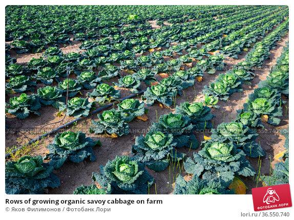 Rows of growing organic savoy cabbage on farm. Стоковое фото, фотограф Яков Филимонов / Фотобанк Лори