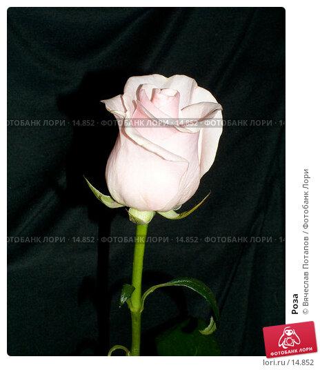Роза, фото № 14852, снято 7 апреля 2005 г. (c) Вячеслав Потапов / Фотобанк Лори