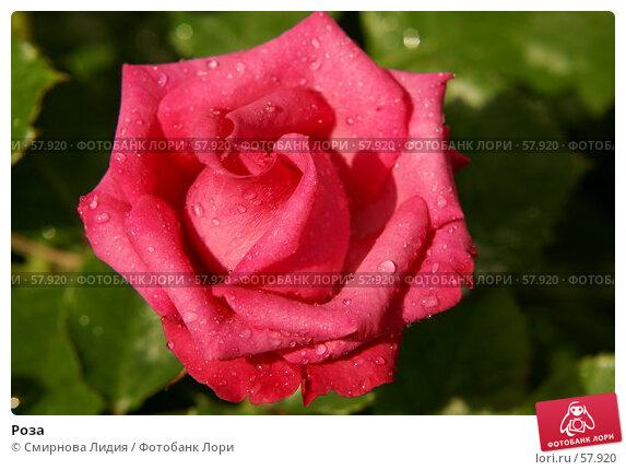 Роза, фото № 57920, снято 1 июля 2007 г. (c) Смирнова Лидия / Фотобанк Лори