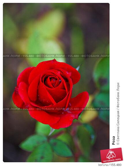 Роза, фото № 155480, снято 2 октября 2007 г. (c) Светлана Силецкая / Фотобанк Лори