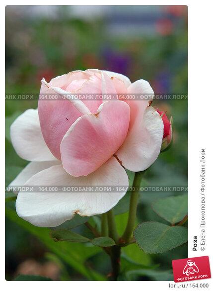 Купить «Роза», фото № 164000, снято 20 апреля 2018 г. (c) Елена Прокопова / Фотобанк Лори