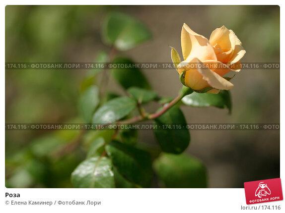 Роза, фото № 174116, снято 26 сентября 2007 г. (c) Елена Каминер / Фотобанк Лори