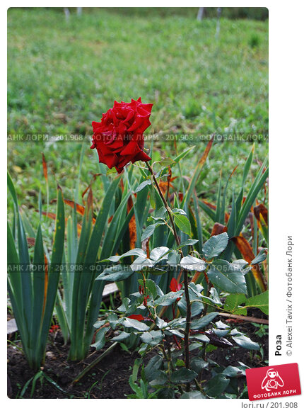 Купить «Роза», эксклюзивное фото № 201908, снято 15 сентября 2007 г. (c) Alexei Tavix / Фотобанк Лори