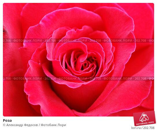 Роза, фото № 202708, снято 2 августа 2003 г. (c) Александр Федосов / Фотобанк Лори