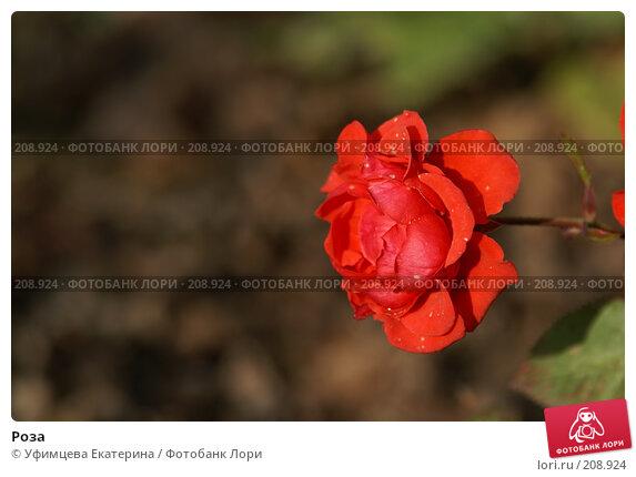 Купить «Роза», фото № 208924, снято 27 октября 2007 г. (c) Уфимцева Екатерина / Фотобанк Лори