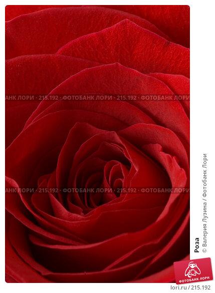 Роза, фото № 215192, снято 1 марта 2008 г. (c) Валерия Потапова / Фотобанк Лори