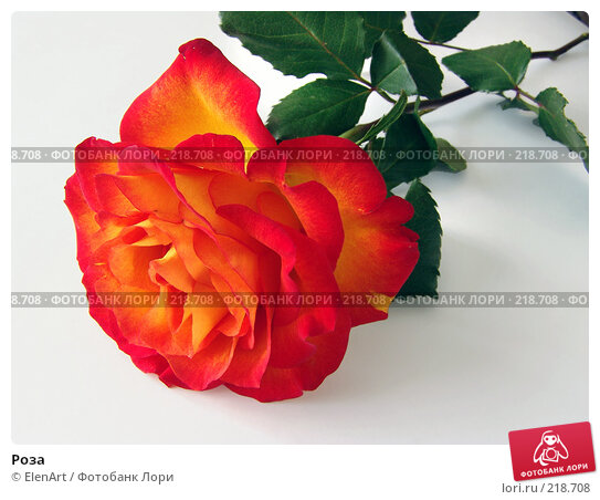 Купить «Роза», фото № 218708, снято 27 апреля 2018 г. (c) ElenArt / Фотобанк Лори