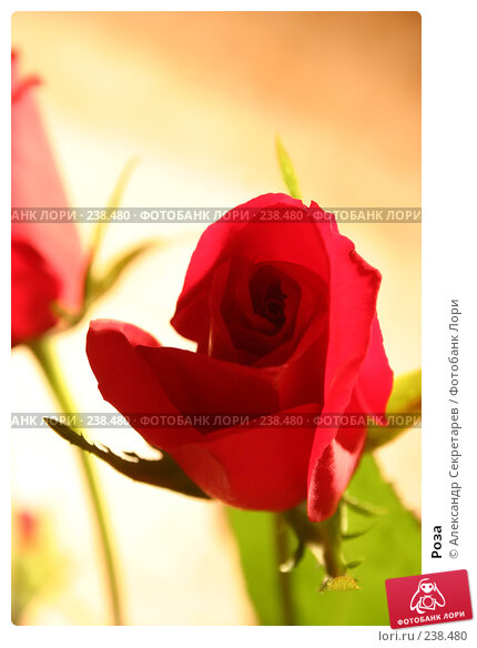 Купить «Роза», фото № 238480, снято 24 апреля 2018 г. (c) Александр Секретарев / Фотобанк Лори