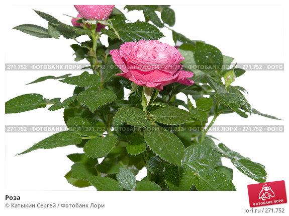 Купить «Роза», фото № 271752, снято 17 апреля 2008 г. (c) Катыкин Сергей / Фотобанк Лори