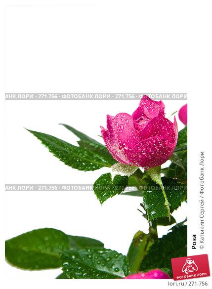 Роза, фото № 271756, снято 17 апреля 2008 г. (c) Катыкин Сергей / Фотобанк Лори