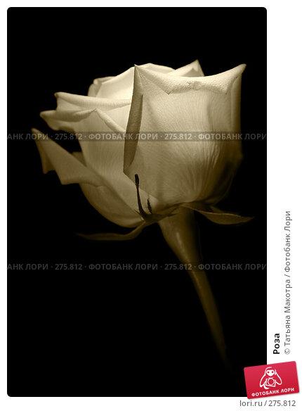 Купить «Роза», фото № 275812, снято 28 августа 2007 г. (c) Татьяна Макотра / Фотобанк Лори