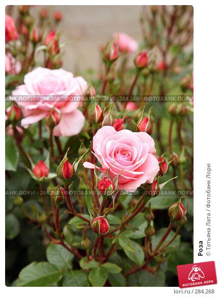 Роза, фото № 284268, снято 7 июня 2007 г. (c) Татьяна Лата / Фотобанк Лори
