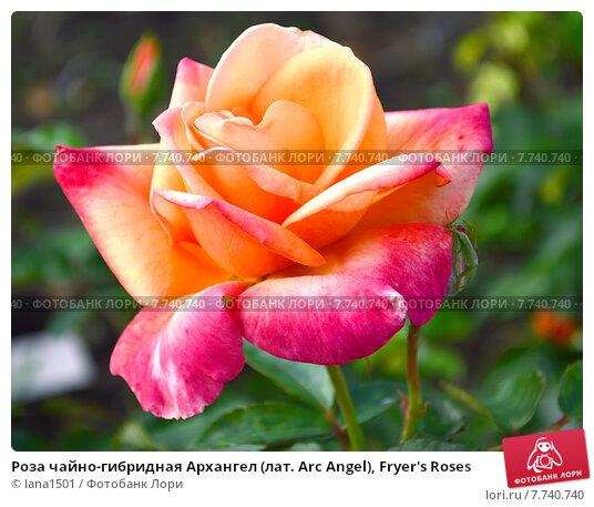 Купить «Роза чайно-гибридная Архангел (лат. Arc Angel), Fryer's Roses», эксклюзивное фото № 7740740, снято 1 июля 2015 г. (c) lana1501 / Фотобанк Лори