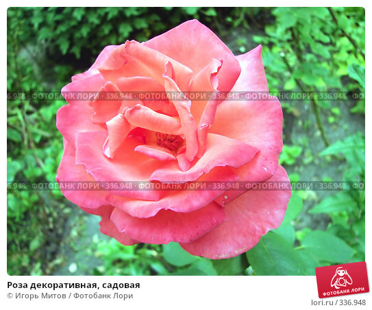 Роза декоративная, садовая, фото № 336948, снято 27 июня 2008 г. (c) Игорь Митов / Фотобанк Лори