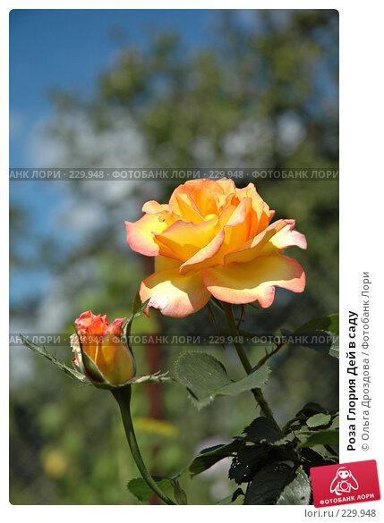 Роза Глория Дей в саду, фото № 229948, снято 10 августа 2004 г. (c) Ольга Дроздова / Фотобанк Лори