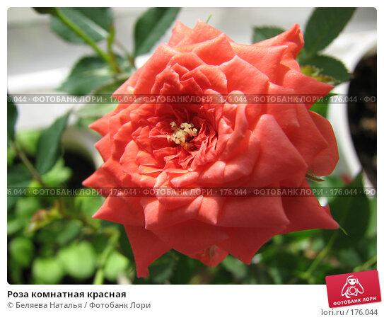 Роза комнатная красная, фото № 176044, снято 12 мая 2007 г. (c) Беляева Наталья / Фотобанк Лори