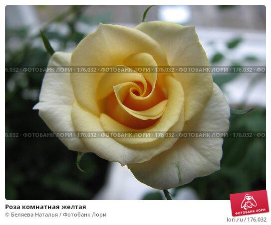 Роза комнатная желтая, фото № 176032, снято 13 мая 2007 г. (c) Беляева Наталья / Фотобанк Лори