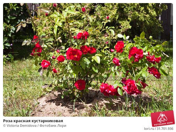 Купить «Роза красная кустарниковая», фото № 31701936, снято 18 июня 2019 г. (c) Victoria Demidova / Фотобанк Лори