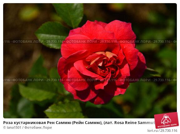 Купить «Роза кустарниковая Рен Саммю (Рейн Саммю), (лат. Rosa Reine Sammut). Guillot- Massada (Гийо-Массада), Франция 2009», эксклюзивное фото № 29730116, снято 24 июля 2015 г. (c) lana1501 / Фотобанк Лори
