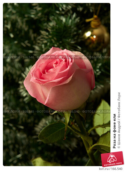 Роза на фоне ели, фото № 166540, снято 28 декабря 2006 г. (c) Шахов Андрей / Фотобанк Лори