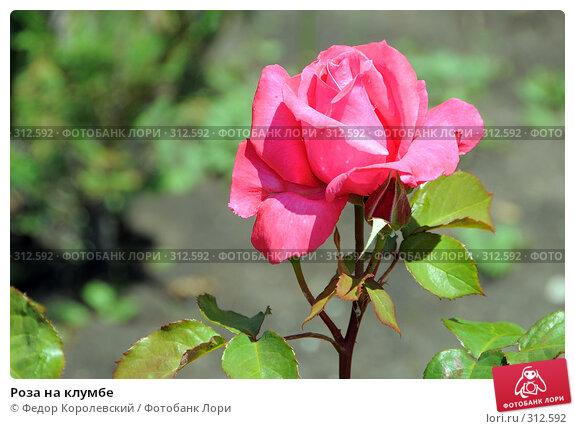 Роза на клумбе, фото № 312592, снято 3 июня 2008 г. (c) Федор Королевский / Фотобанк Лори